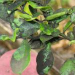 Сажистый грибок на листьях