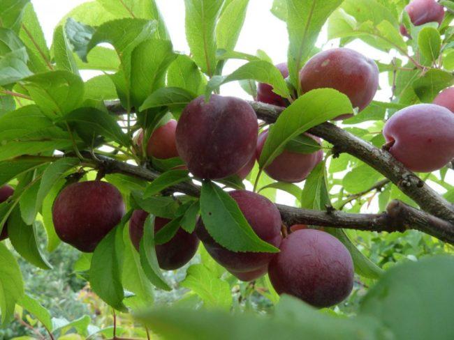 Сорт сливового дерева Алёнушка