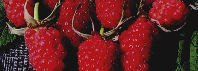Ягоды малины сорта Таруса