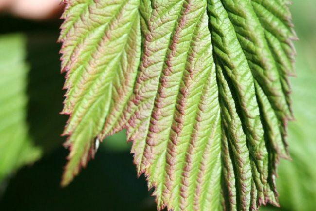 Лист малины Таруса с красными полосами