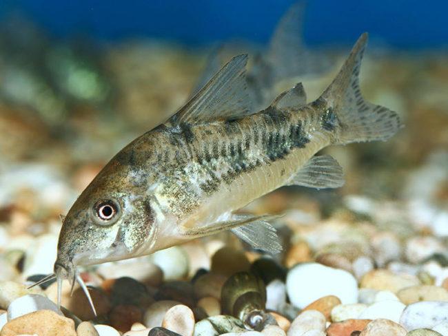 крапчатый сомик щупает усами дно аквариума из округлой гальки