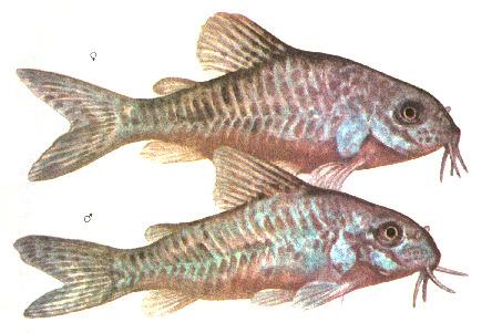 рисунок по определению пола крапчатых сомиков: вверху — самка с округлым спинным плавником, внизу — самец с острым плавником