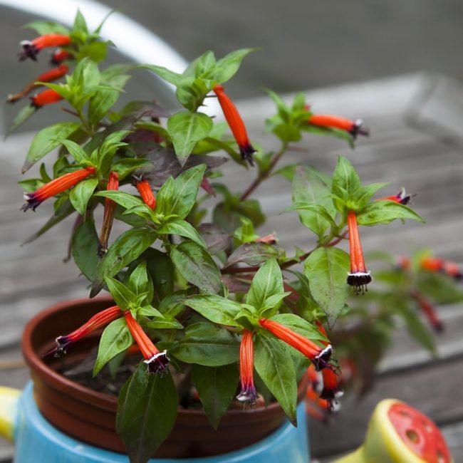 Cuphea ignea, молодое растение