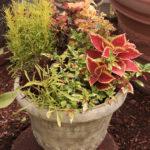 Cuphea ignea variegata