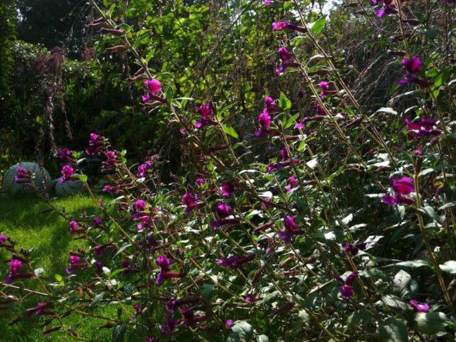 Cuphea viscosissima в саду