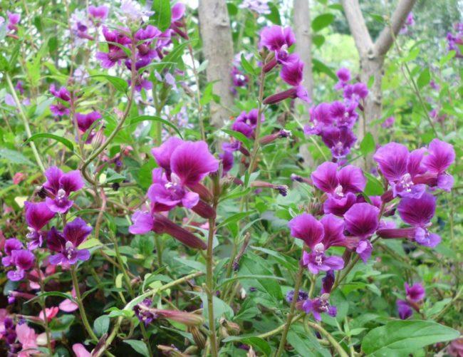 Сuphea procumbens, цветы