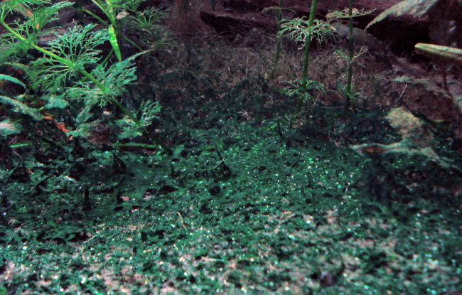 Сине-зелёные водоросли в аквариуме