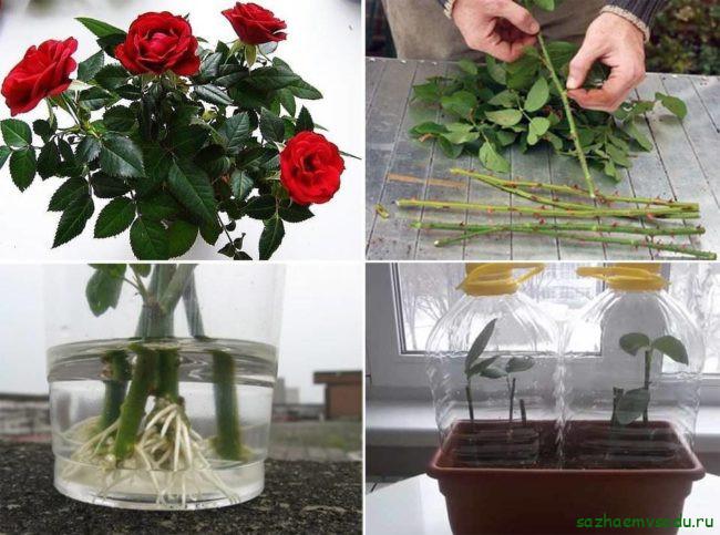 Черенкование букетных роз осенью: особенности отбора материала, правила посадки и ухода