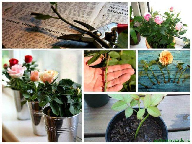 Как вырастить розы из подаренного букета летом