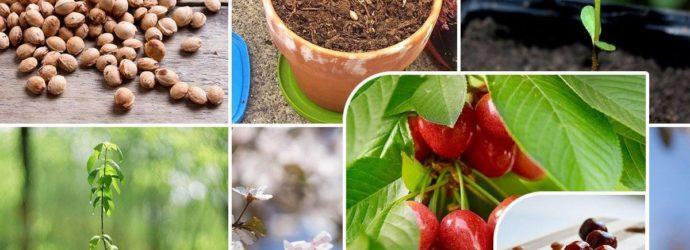 Как вырастить черешню из косточки: правила посадки, ухода, размножения и советы от опытных садоводов