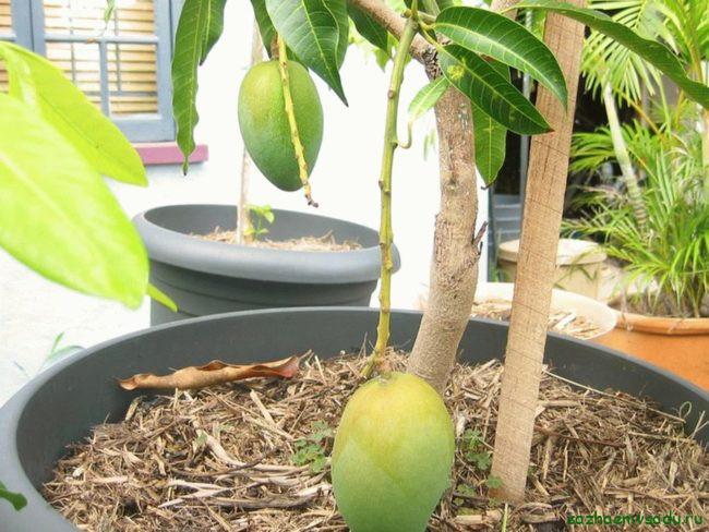 Какие сорта манго можно вырастить дома, а какие на улице