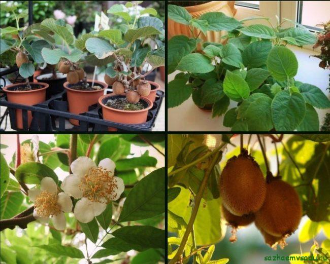 Сорта киви, подходящие для домашнего выращивания