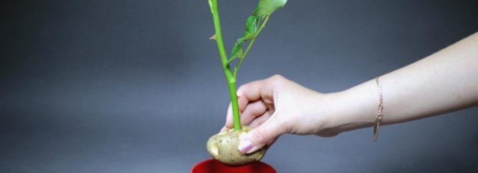 Как вырастить розу из букета, купленного в магазине: условия проращивания, высадки, ухода и размножения