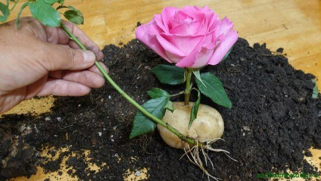 Какие розы можно и нельзя укоренять