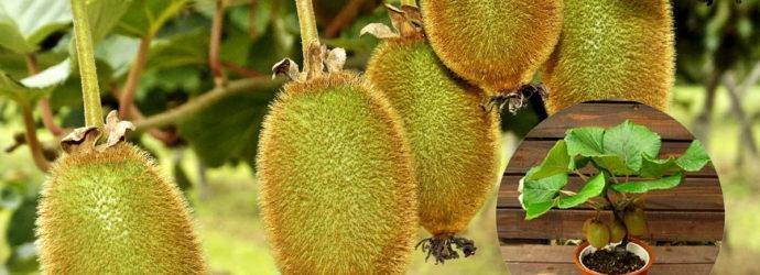 Киви в домашних условиях:можно ли вырастить экзотический фрукт самому и как это сделать правильно
