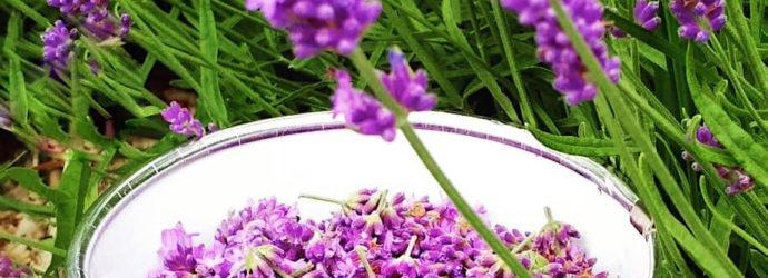 Как вырастить лаванду самому: секреты от опытных садоводов