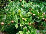 Мушмула: как вырастить необычный фрукт дома или на улице