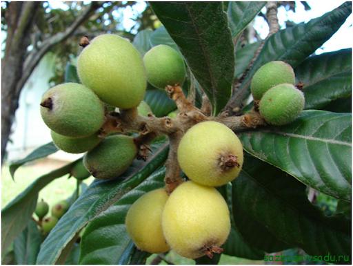 Ботаническое описание растения, внешняя характеристика вкусовые качества