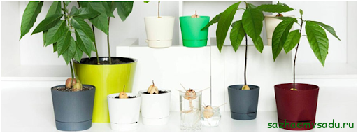 Можно ли вырастить авокадо в домашних условиях и какие сорта лучше выбрать