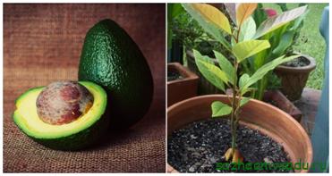 Как вырастить авокадо из косточки в домашних условиях: рассказываем о всех нюансах правильного выращивания
